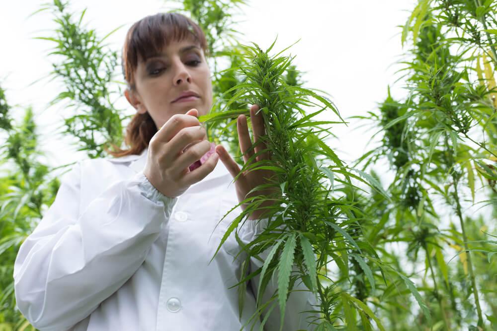 cannabis medicinal importancia