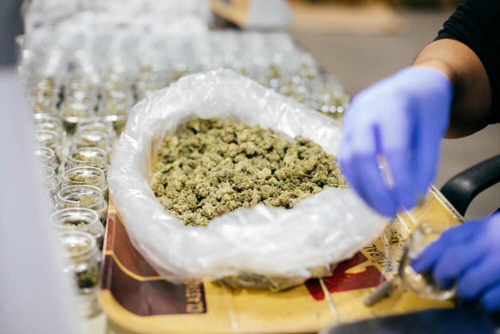 Cannabis Medicinal tratamentos medicamentos tradicionais