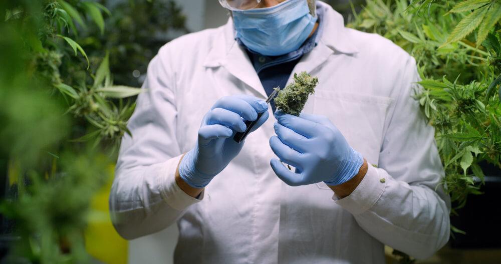 o que e cannabis efeitos