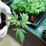 o que é cannabis qual a diferenca cannabis, maconha e canhamo