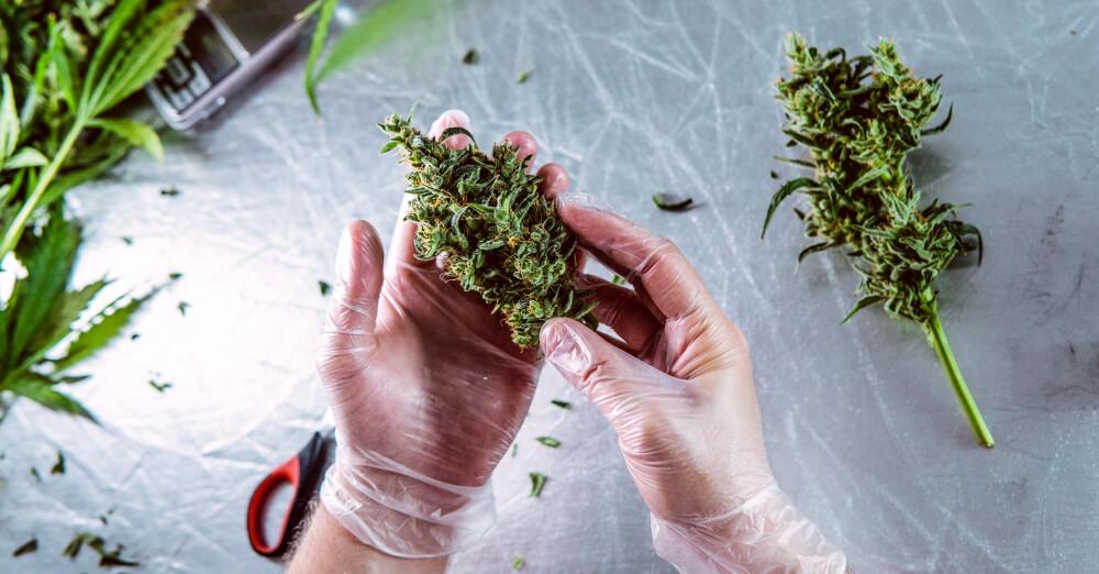 cepa de cannabis strain como genetica influencia efeito