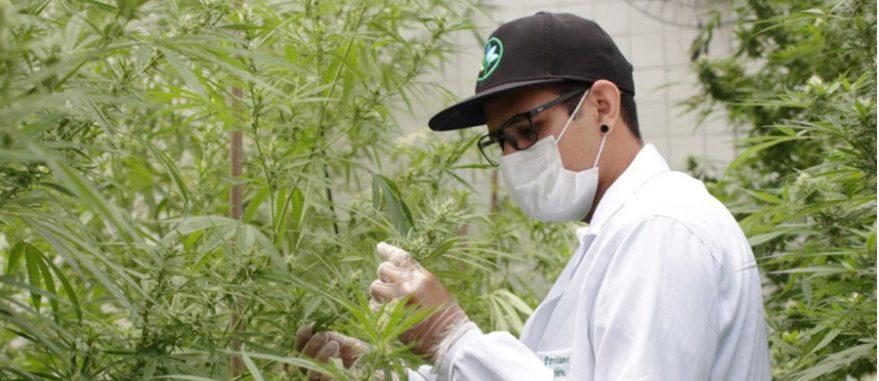 Na Paraíba está a Abrace, primeira ONG autorizada a cultivar Cannabis aos seus associados