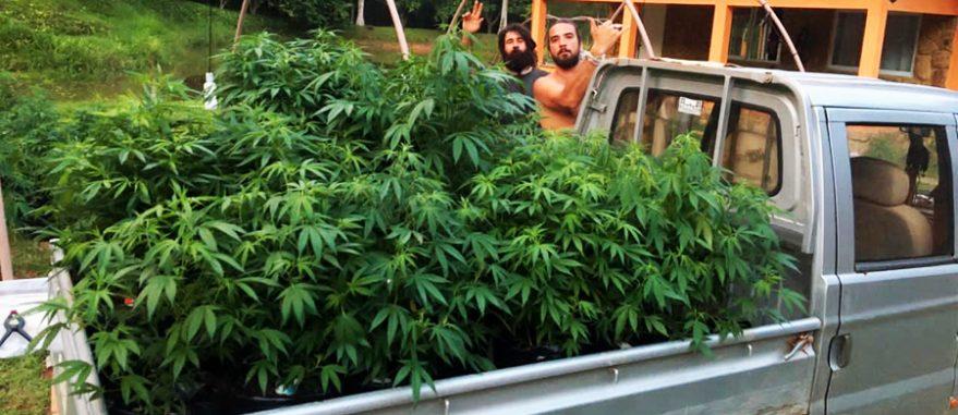 Justiça derruba liminar para Cultivo de Cannabis da Apepi
