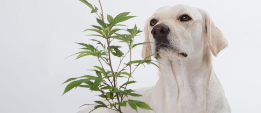 cannabis-medicinal-veterinaria-pets