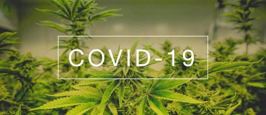 Canabidiol reduz os danos da Covid-19 no pulmão, revela pesquisa dos EUA