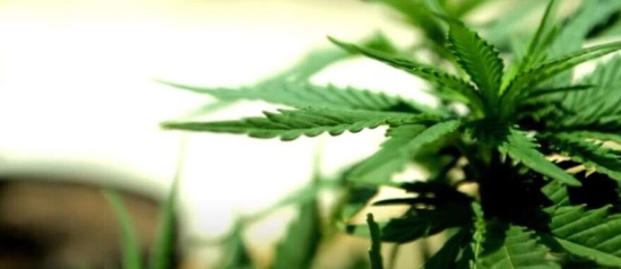 Justiça autoriza pais de criança autista plantar cannabis em campinas